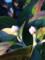 ハナミズキの来年咲く蕾