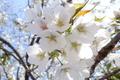 大島桜/天平の丘公園