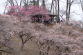 青梅市梅の公園(吉野梅郷)