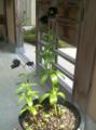 [okazaki]実家の庭で咲いていた黒百合