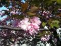 [tokyo]八重咲きのサクラ