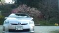 地蔵桜とプリウス