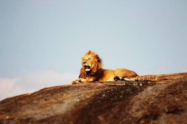 座っているライオン