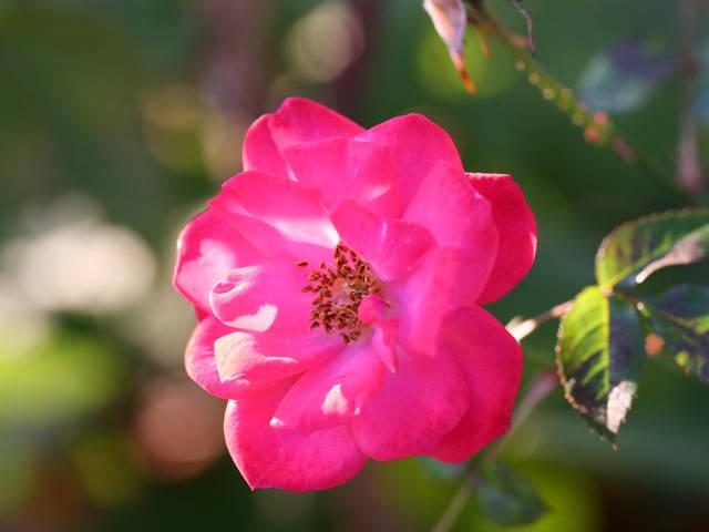 薔薇 (バラ)