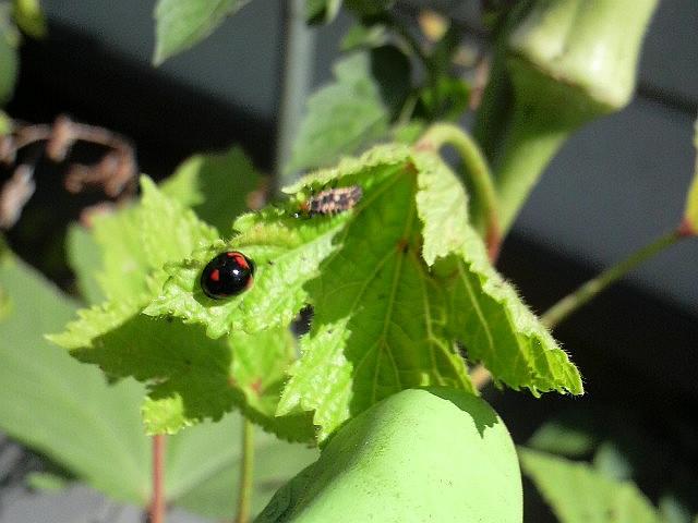 100926家庭菜園 (1)てんとう虫の親子