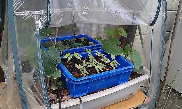 プランター菜園のアスパラガス
