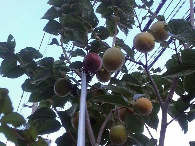 101023柿