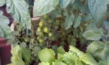 内装ホイールの出張修理☆佐藤企画のブログ-ベランダ菜園の収穫