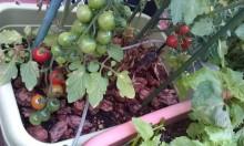 内装ホイールの出張修理☆佐藤企画のブログ-プチトマトが赤く