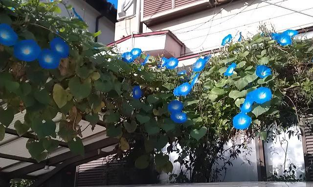 内装ホイールの出張修理☆佐藤企画のブログ-西洋朝顔