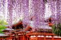 京都新聞写真コンテスト  平等院と藤