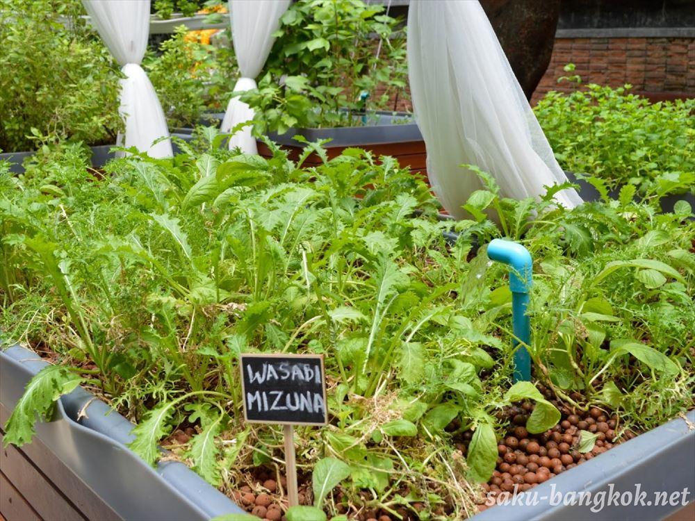 Haomaのレストラン内で育てられている水菜