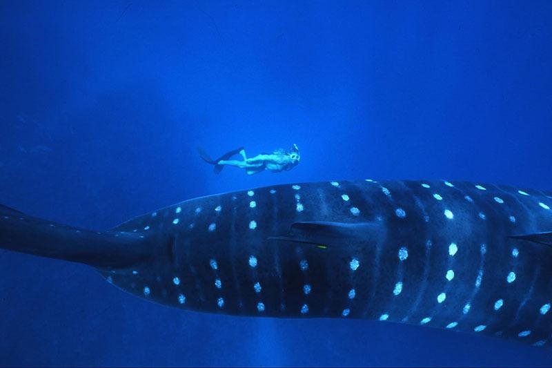 ジンベエザメと泳ぐ(西オーストラリア)