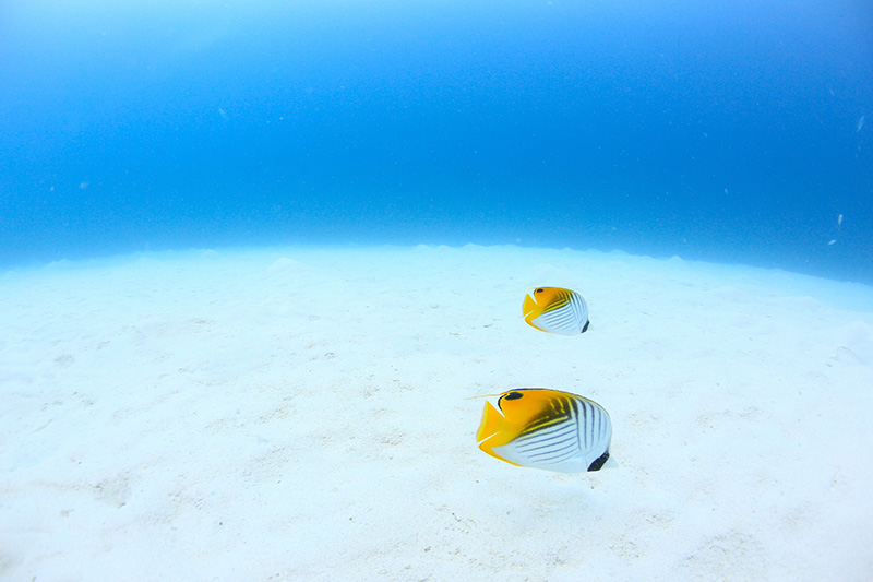 【撮影:鍵井さん】いつも並んで、一緒に泳ぐトゲチョウチョウウオ。
