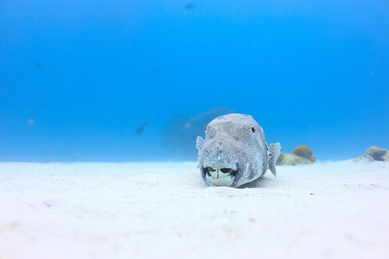 【撮影:鍵井さん】砂地で大きなフグが、よく休憩?していた、笑