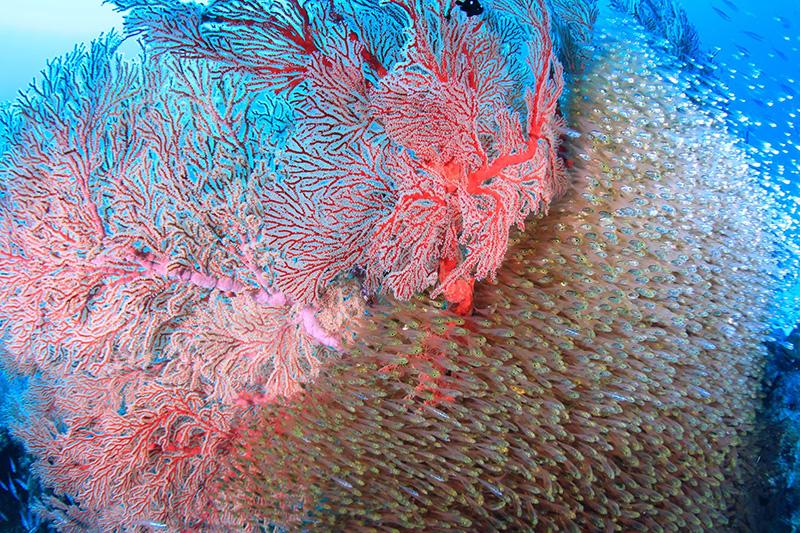 【撮影:鍵井さん】真っ赤なイソバナにキンメモドキが群れる印象的に海中景色
