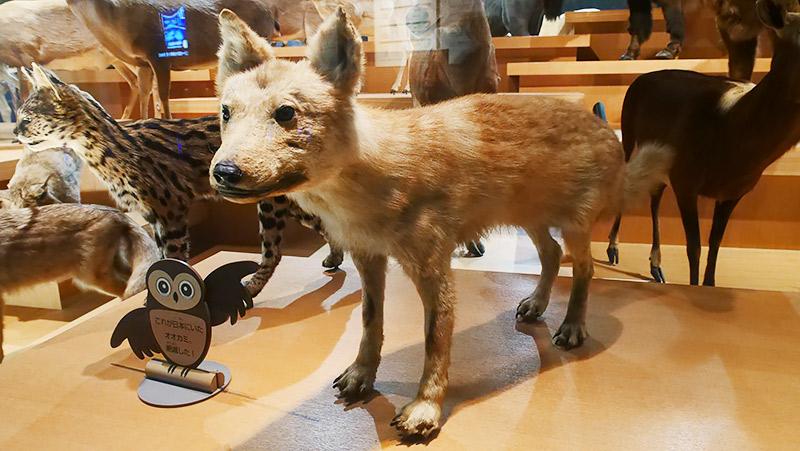 これがニホンオオカミです!