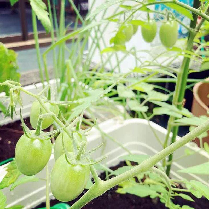 (阿部さんが家庭菜園で育てているトマト)