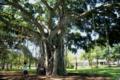 メニヤン・ツリーの大木は全島に有り木陰が涼しいです