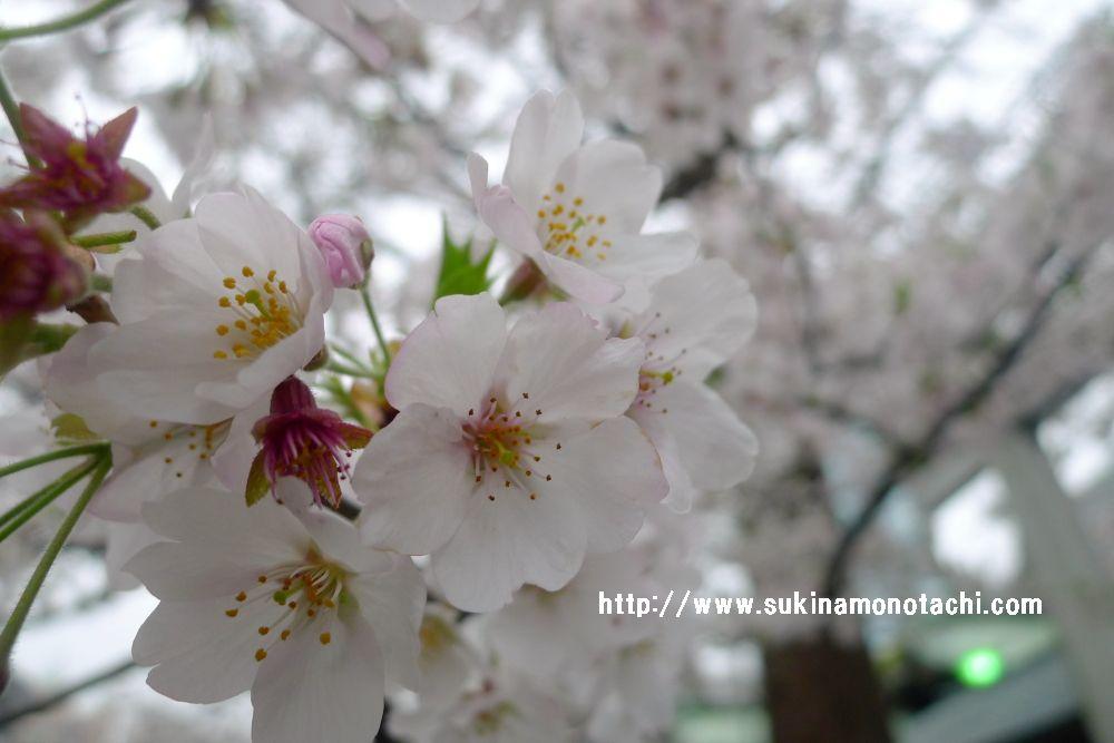 f:id:sakuraho:20170412091347j:plain