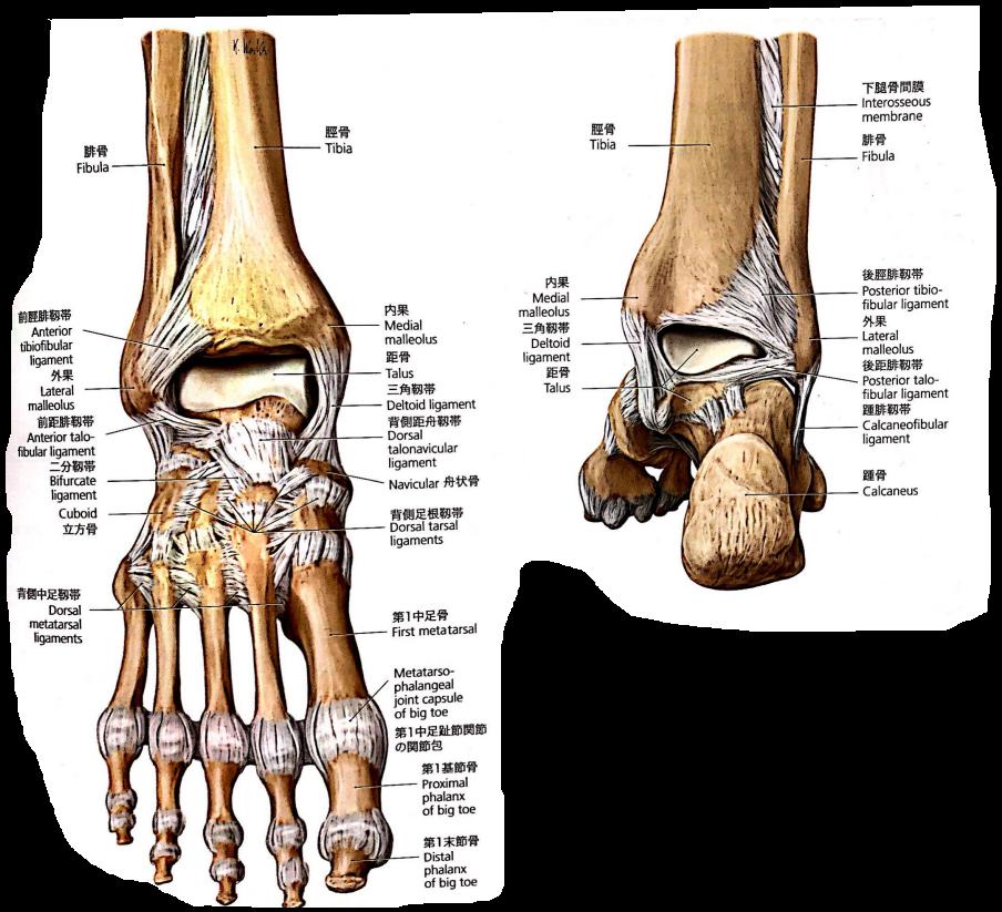 損傷 二分 靭帯 二分靱帯(にぶんじんたい)損傷
