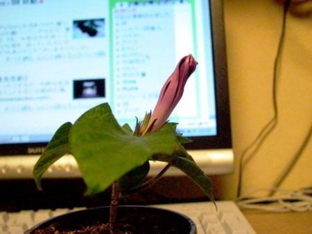 矮性朝顔 第1号明朝開花の画像