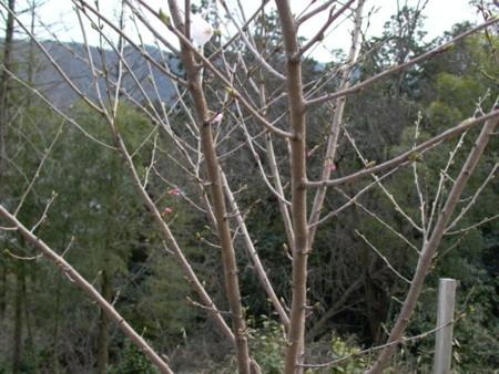 裏山の天辺のサクラが咲き始めた写真は:島崎丈太サクラの画像