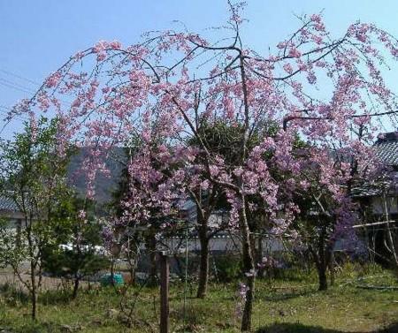 やっとここまで・・・庭の枝垂れの画像