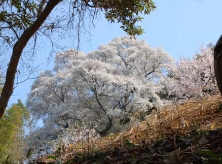 大山桜 全景の画像