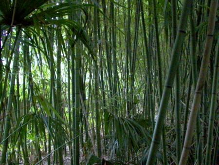 岡山市の中心に密生した竹藪 の画像