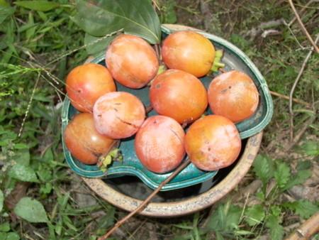 熟柿の画像