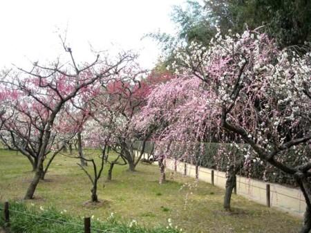 梅満開の岡山後楽園の画像