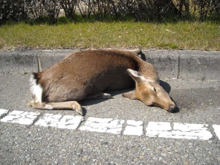 鹿の事故多発の画像