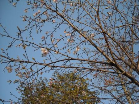 大漁桜の画像