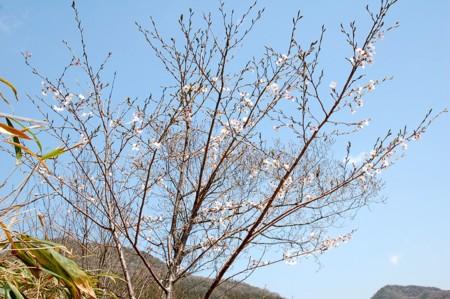 ポキ桜(現在:五分咲き)の画像