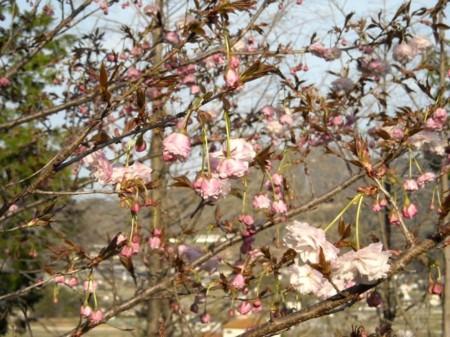 花笠桜 四分咲きの画像