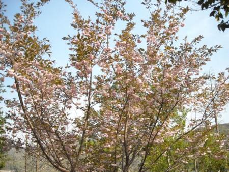 花笠桜満開の画像