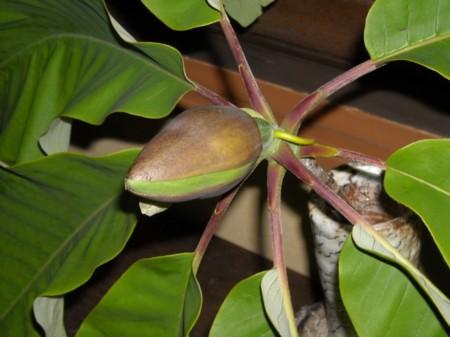 朴の木の蕾の画像