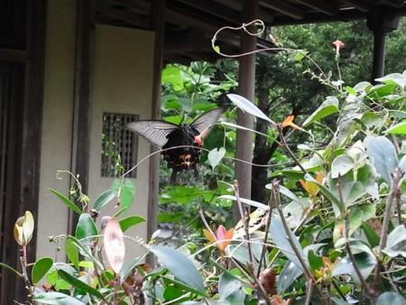 揚羽の幼虫の画像
