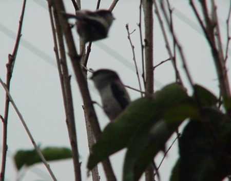 小鳥 大挙して渡って来たの画像