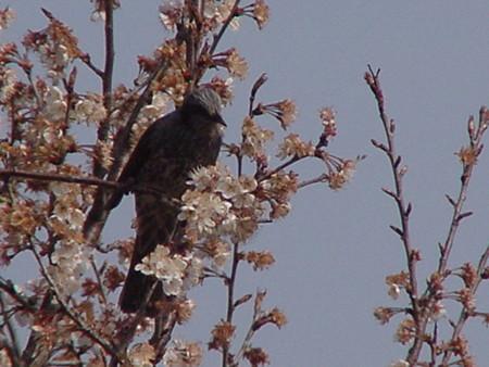 桜を惜しむの画像