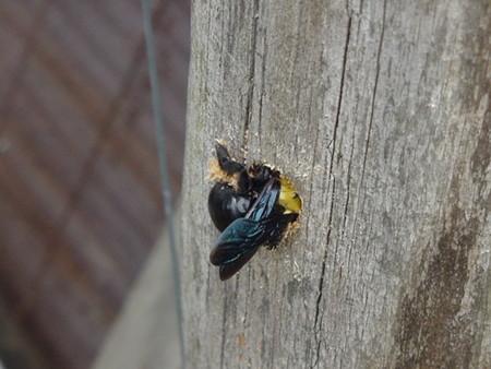 くま蜂の体力の画像