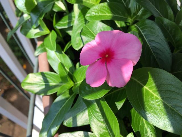 今年初の日日草の花