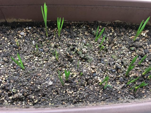 芽が出たムスカリ