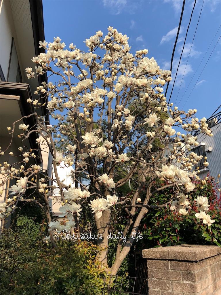 ご近所で見つけた白木蓮