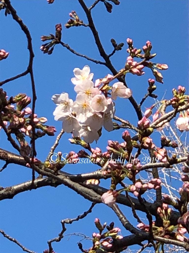 靖国神社桜の標本木3