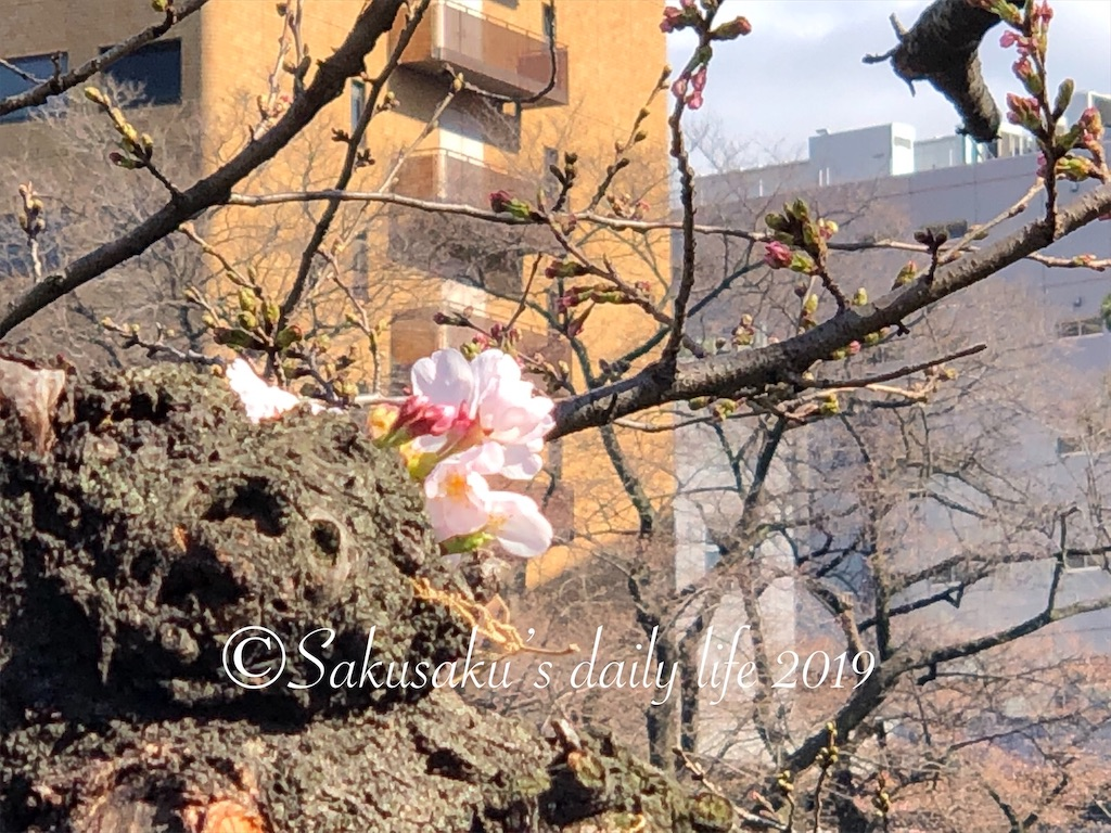 外堀通り沿いで開花した桜2