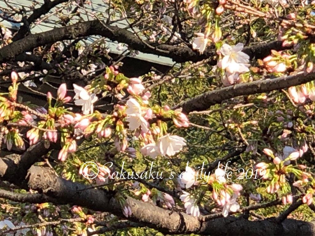 靖国神社境内の桜2