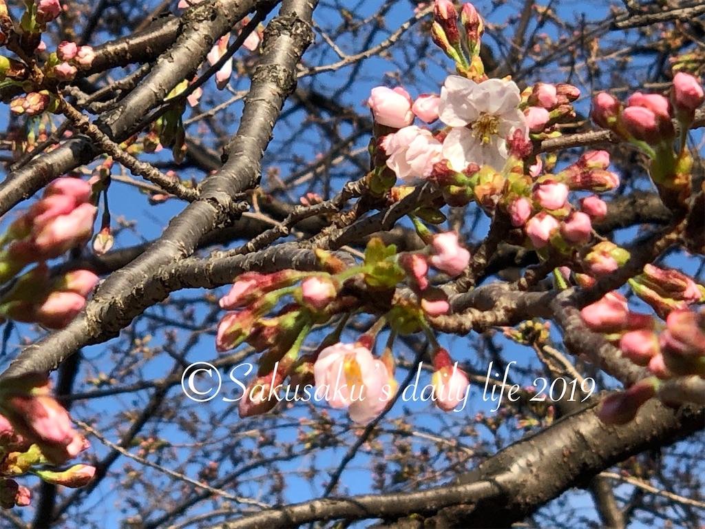千鳥ヶ淵緑道桜開花 ソメイヨシノ