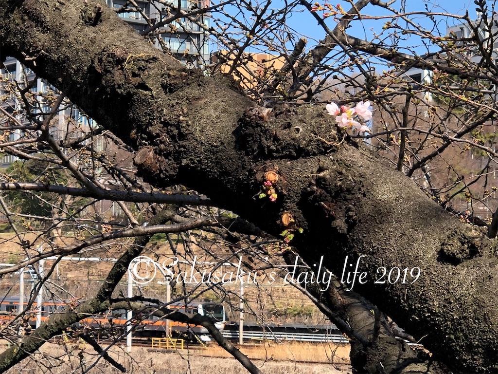 外堀通り沿いで開花した桜1
